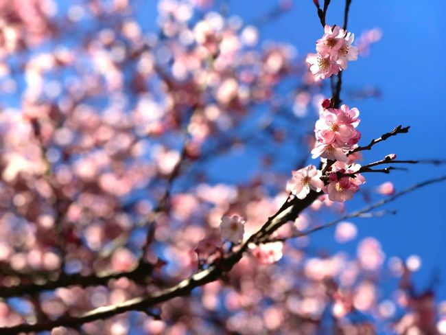 Flower Flowering Plant Plant Tree Fragility Beauty In Nature Vulnerability  Blossom Branch Focus On Foreground Freshness Growth Low Angle View Nature Sky No People Springtime Close-up Pink Color Day