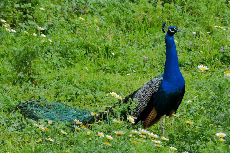 Animal Themes Animal Wildlife Animals In The Wild Beauty In Nature Bird Day Field Grass Green Color Nature No People One Animal Outdoors Peacock Peacock Feather
