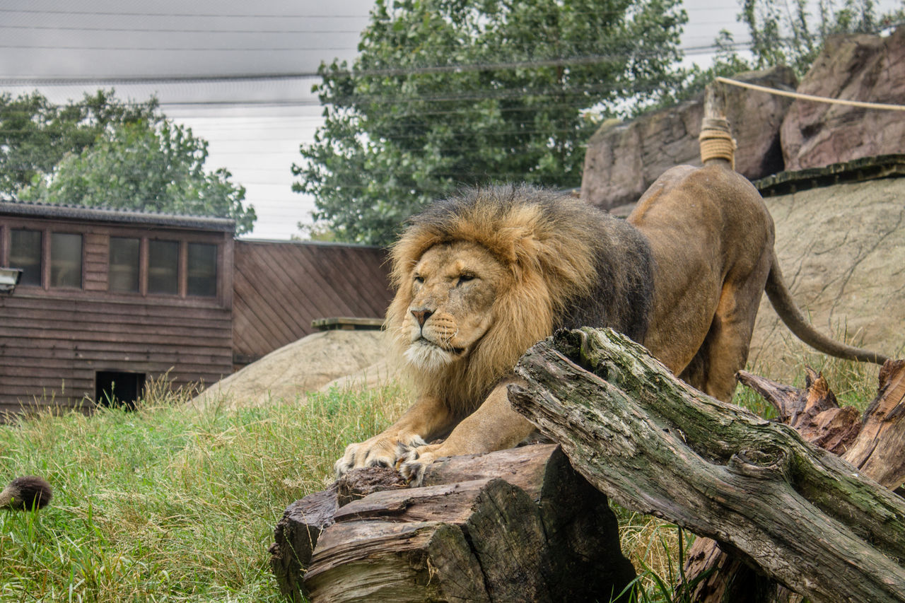 animals in the wild, animal wildlife, animal, animal themes, mammal, tree, feline, lion - feline, cat, vertebrate, plant, one animal, day, no people, nature, architecture, wood - material, built structure, zoo, outdoors