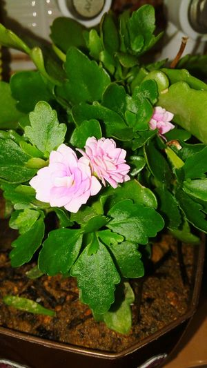 Flower Freshness Pink Color Nature Beauty In Nature Leaf Green Color No People Plant