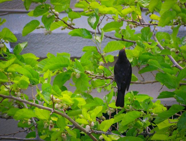bird on a tree Green Green Leaves Tree Branches Nature Nature_collection Beauty In Nature Bird Black Black Bird Tree Branch Leaf Close-up Plant Green Color