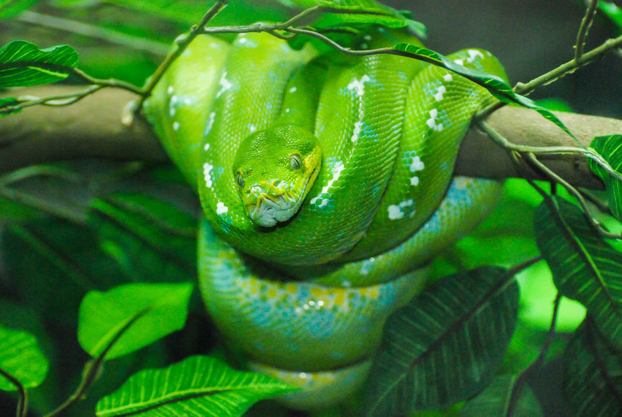 green pit viper at Dusit Zoo in Bangkok Thailand. Animal Skin Animal Wildlife Animals In The Wild Close-up Dusit Zoo Forest Green Color Green Pit Viper Nature No People One Animal Reptile Squat Viper  Zoo Animals