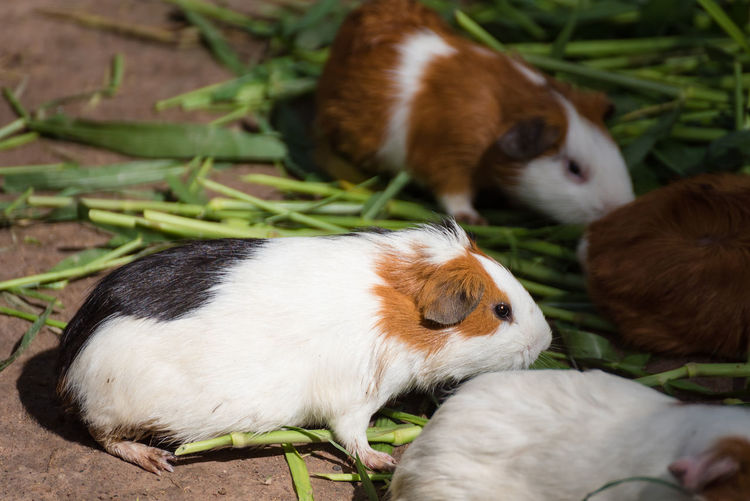 Guinea pig eating green grass in the Zoo.Thailand Guinea Pig Zoo Animal Themes Bird Close-up Day Domestic Animals Grass High Angle View Mammal Mouse Nature No People Outdoors Pets Young Animal Young Bird