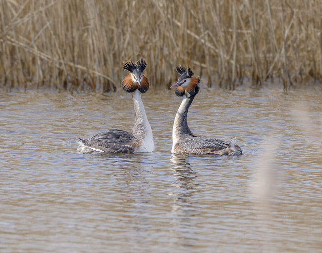 Male and Female Grebe together. Great Crested Grebe Courtship Animal Themes Animal Wildlife Animals In The Wild Behaviour Bird Facing Each Other Grebes Head Shake Lake Nature No People Outdoors Swimming Togetherness Water Water Bird Waterfront Young Animal Young Bird