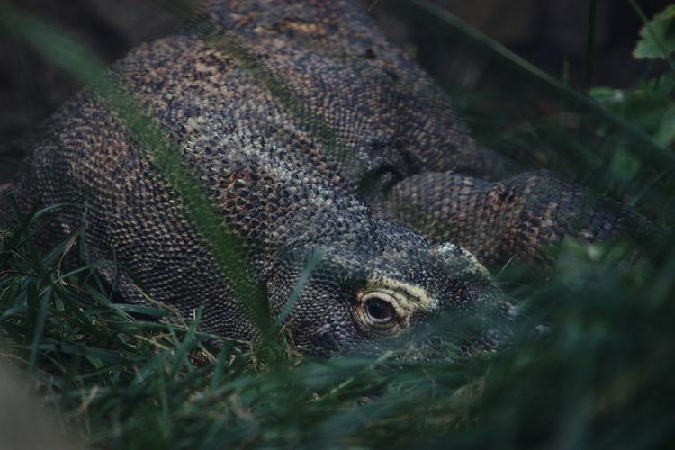 Komodo dragon hiding on field