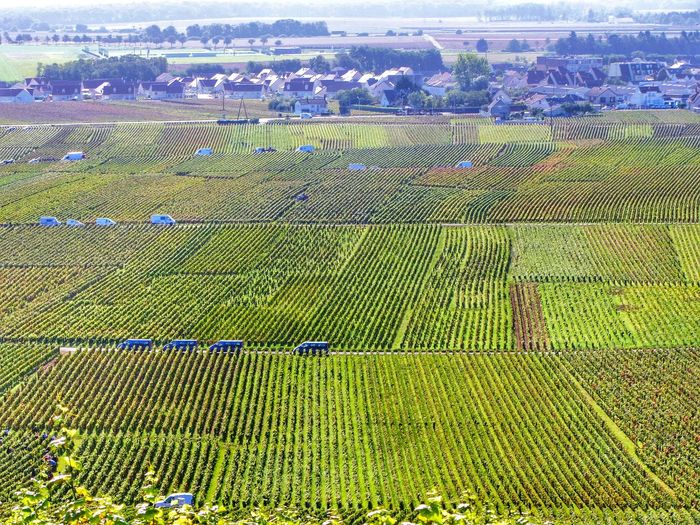 Agriculture Rural Scene Farm Landscape Green Color Full Frame Aerial View Crop  Field Nature Cultivated Land Day Outdoors Growth No People Beauty In Nature Tranquility Man Made Object Scenics Green Wine Harvest Vineyard Vines And Leaf French Countryside Vendanges