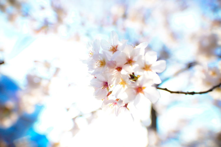 Flower Freshness Flowering Plant Plant Fragility Beauty In Nature Vulnerability  Growth Springtime Tree Blossom Close-up Branch Nature Selective Focus No People Day Cherry Blossom White Color Outdoors Flower Head Cherry Tree Bright Pollen Spring Hello World Tadaa Community EyeEm Best Shots Cherry Blossom
