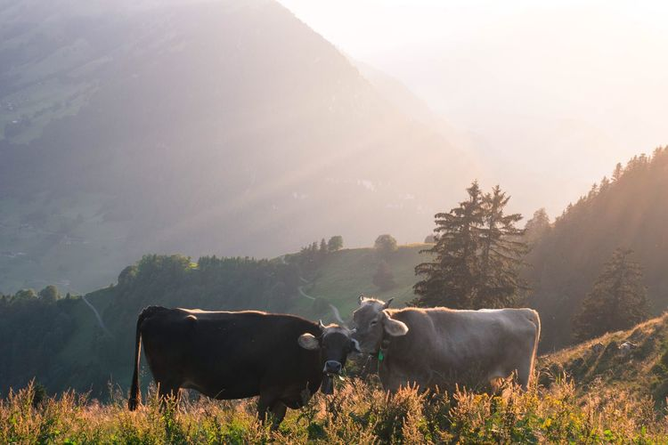 Cows standing on mountain during sunrise