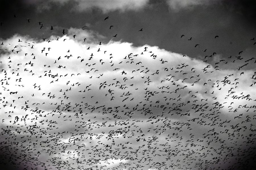 Snow Goose White morph flock. Often seen in huge flocks Stocky and short-neckedBright white overall with black wing-tips Ornithology  Birds Snow Geese Look Up And Thrive Where Do You Swarm? From My Point Of View Rural America Check This Out Monochrome Photography