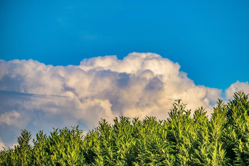 Plant Tree Sky Beauty In Nature Nature No People Cloud - Sky Scenics - Nature Environment Growth Blue Outdoors Landscape Land Tranquility Green Color Day Low Angle View Tranquil Scene