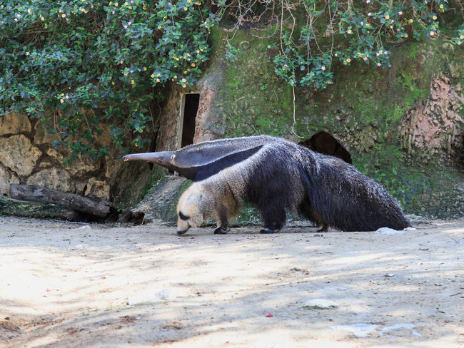 Giant anteater - Myremacophaga tridactyla - is walking on the ground on a sunny day Ape Business Grass Ramat Gan - Tel Aviv Travel View Zoo Adaptation Animal Themes Animals In The Wild Attraction Biology Conservation Day Environment Israel Landscape Mammal Nature Population Predator Reserve Safari Scene Tourism