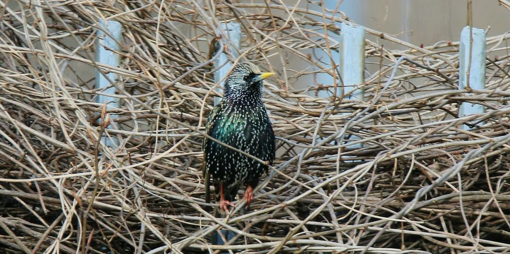 starling ! beautiful colour.