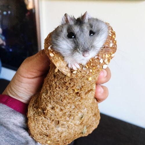 Cropped image of hand holding hamster in bread