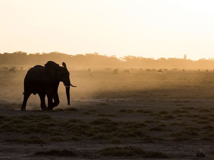 Silhouette Elephant On Field At Sunset