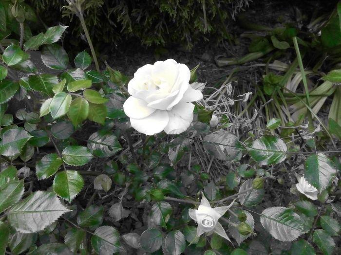 snow white roses
