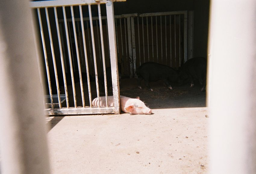 Sleeping piglet 子豚 豚 子豚 写ルンです フィルム写真 Filmphotography Farm Animal Pig Piglet EyeEm Selects Domestic Animals Animal Themes Domestic Mammal One Animal Animal No People Day Sunlight Nature Outdoors Nature Relaxation