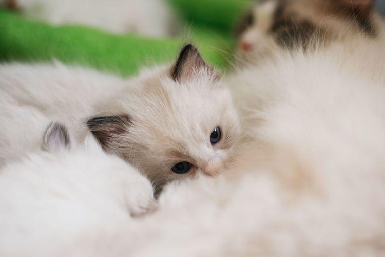 Close-Up Kitten Feeding On Cat