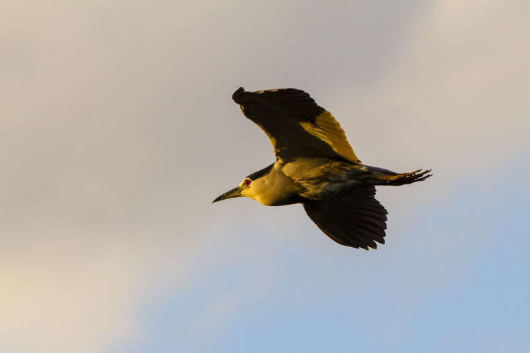Low angle view of black crowned night heron flying against sky