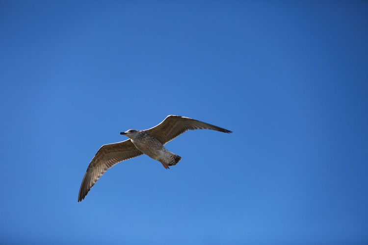 Beauty In Nature Bird Blue Clear Sky Flying Nature No People Seagull