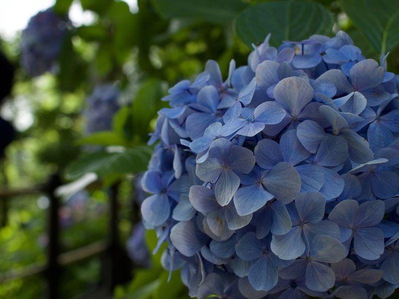 Flowers Hydrengea Blue Flowers