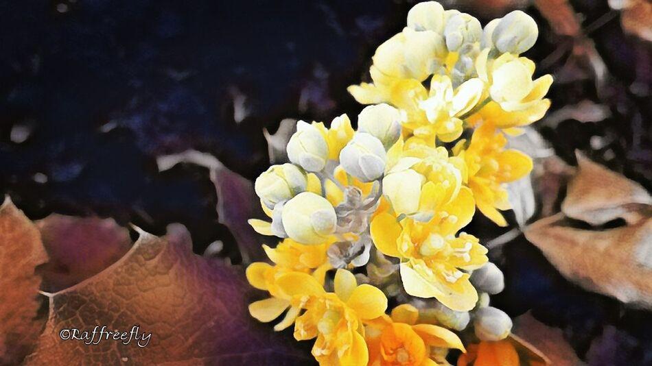 Flower by ©Raffreefly Flowers Raffreefly Art AlbumBiella Nature Photography Eyeemnature Free EyeEm Gallery Freeart Happiness EyeEmdigital Design Light And Shadow Artedigitale Artemoderna ARTECONTEMPORANEA eyeemphoto Flower Water Underwater UnderSea Yellow Flower Head Beauty Close-up