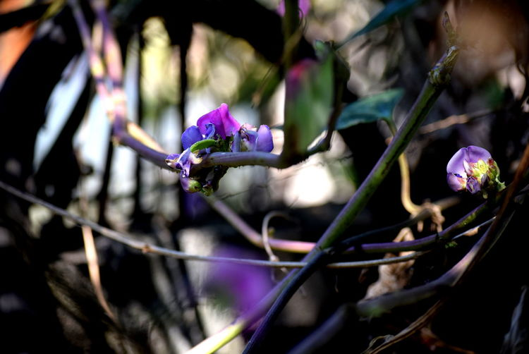 Flower Purple Plant Day Outdoors Close-up Nature Fragility No People Freshness Flower Head