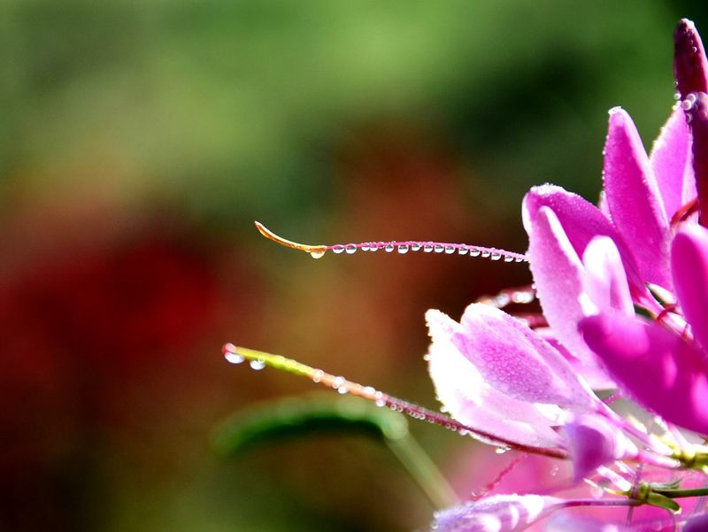 Row of Water Droplets Flower Nature Waterdrops Close-up Flowers Cleome Pink Flower Flower Collection Water Drops EyeEm Nature Lover Drop Of Water Beauty In Nature