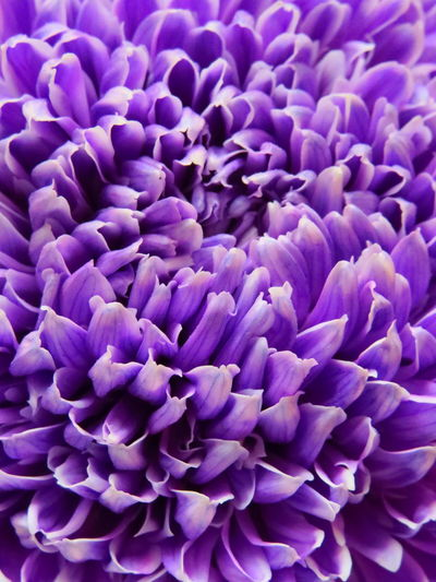 Full frame shot of purple chrysanthemum