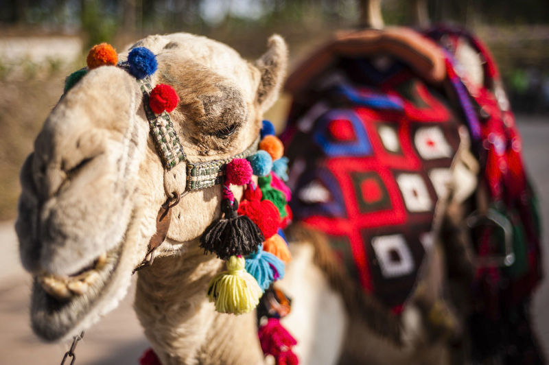 Close-up of decorated camel