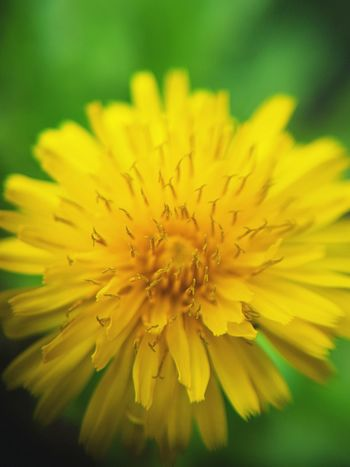 Flower Yellow Flower Head Freshness Petal Fragility Close-up Growth Beauty In Nature Single Flower Macro Extreme Close-up