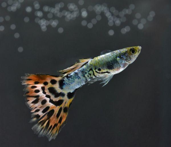 Beautiful macro with a small fish in the aquarium. Macro Fish Guppy Guppy Fish Black Background Close-up
