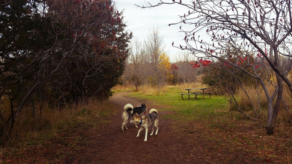 Beauty In Nature Cellphone Photography Dog Field Huskies Husky Landscape Nationalday Nature Oldpicture Tree Two Animals Two Is Better Than One Outdoors Explore Woods Backgrounds Eyeemnaturelover Exploring Minnesota Mn