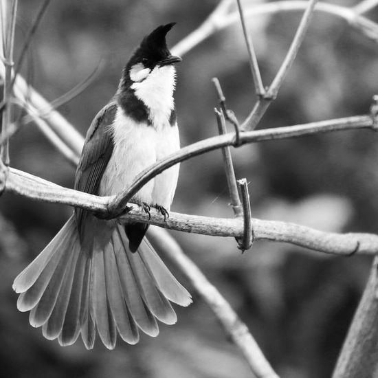 Shades Of Grey Myna Bird Wings