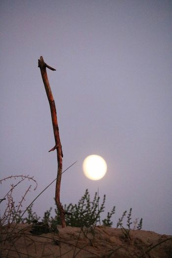 Sky Moon Low Angle View Plant No People Nature Tree Tranquility Full Moon Beauty In Nature Scenics - Nature Clear Sky Outdoors Tranquil Scene Planetary Moon Moonlight Circle Silhouette
