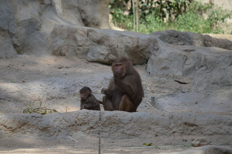 Baboons And Infant On Rock Formations