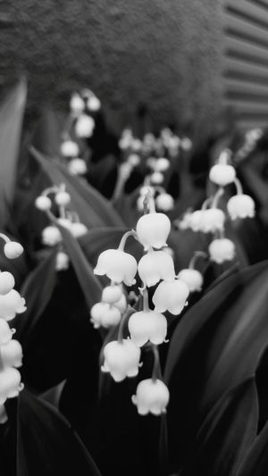 Frower White Flower Liliy Of The Valley Hokkaido Lovery Garden Garden Photography すずらん すずらん