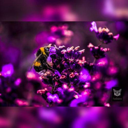 Bumblebee in the lavender field Fotografie Salzgitter Naturfoto Naturephotography Macro Bumblebee Hummel Lavendel Lavender Lavenderfield Lavendelfeld Photographyislife Photgraphy