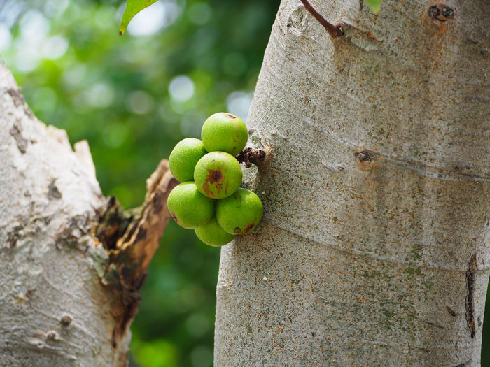 green Ficus carica racemosa or figs on the tree in forest Thailand. Agriculture EyeEm Natural Animal Themes Animals In The Wild Beauty In Nature Carica Close-up Day Focus On Foreground Food Freshness Fruit Green Color Growth Nature No People Outdoors Racemosa Tree Tree Trunk