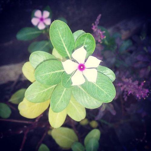 Flower Evergreeners Leaves Cam Click Soul Phool M Sadabahar 💮🌸🌼