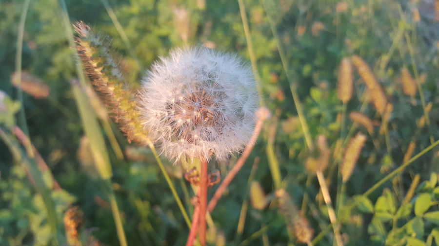 Eyem Nature Lovers  Dandelion Sany Day Nature Single Flower Flower Head Nature No People Nofilternoedit