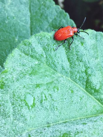 Award Winner Red Lilly Beetle Nature Photography Red Lily Beetle Invertebrate Insect Animal Wildlife Animal Animals In The Wild Animal Themes One Animal Red Beetle Green Color Close-up Plant Part Leaf Day Nature High Angle View