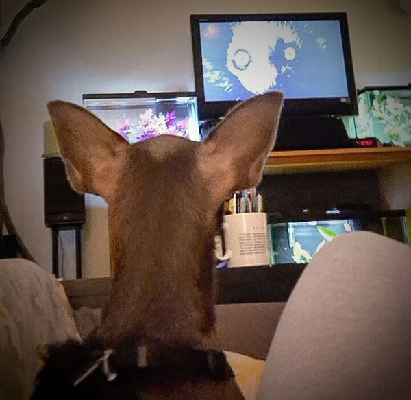 Chihuahua Enjoying Life My Dogs Are Cooler Than Your Kids Chihuahuas<3 King Of The World Kilo Watching Tv