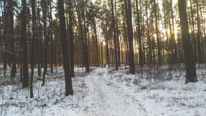 Winter Frost Frosty Mornings Photography Riga Forest Photography Cold Temperature Cold Trees And Sky Golden Sky Snow Forest Winter Cold Temperature Tree Nature Pinaceae Beauty In Nature WoodLand Landscape Pine Tree Outdoors Tranquil Scene Tranquility No People Tree Trunk Frozen Wilderness Scenics Day