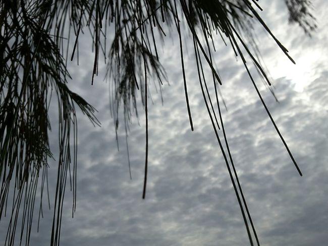 Clouds Tree Casuarinatree Beach Saunders Beach Sky Himmel Baum Look Up Morning Blau Beauty In Nature Outdoors Nature Cloud - Sky EyeEmNewHere Australia North Queensland Needle - Plant Part Needles Leaves🌿 Samsung Galaxy Tab 2 EyeEmNewHere Schwarz
