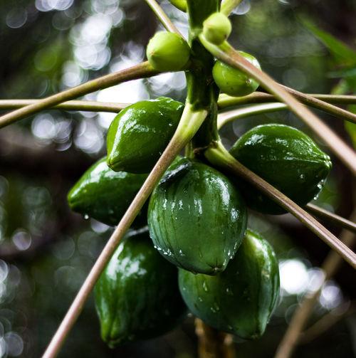 Papaya tree in