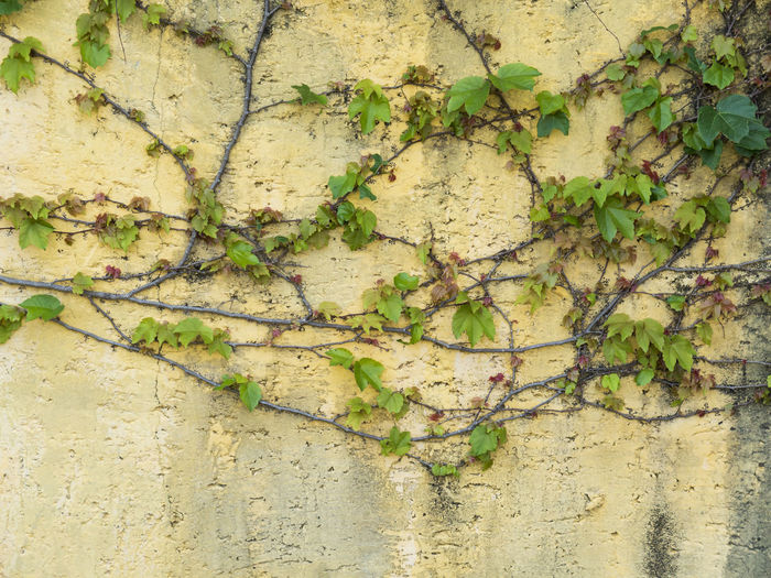 vine creeper on yellow wall - italian style background texture Creeper Wall Architecture Backgrounds Brackground Built Structure Close-up Cracked Creeper Plant Damaged Day Freshness Green Color Growth Italian Ivy Leaf Nature No People Outdoors Plant Textured  Villa Wall - Building Feature Weathered
