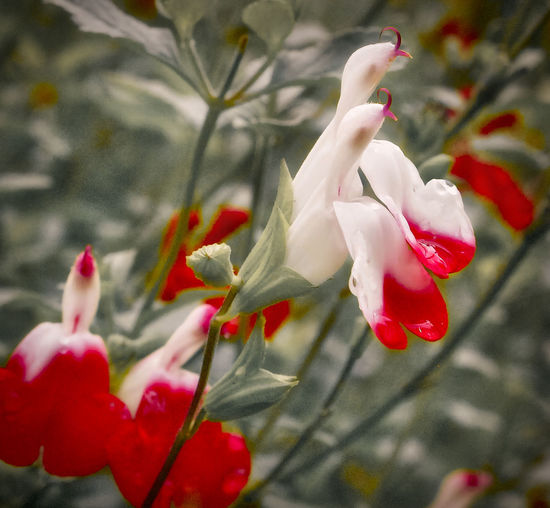 Bird Like Flower Reaching For The Sun Water Droplets Close-up Flower Glorious Red Salvia Hot Lips White