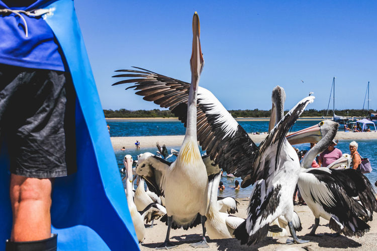 pelicans at a local beach waiting for a regular feed by a local fish market Vertebrate Bird Animals In The Wild Flying Animal Wildlife Group Of Animals Spread Wings Sky Nature Blue Real People Day Pelican One Person Sunlight Water Incidental People Outdoors Flock Of Birds Seagull