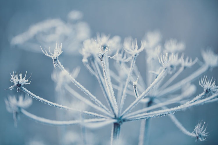 cow paisley plant in winter Hoarfrost Beauty In Nature Blue Close-up Cold Temperature Cow Paisley Fragility Frost Frozen Ice Ice Crystal Nature No People Outdoors Plant Snow Winter