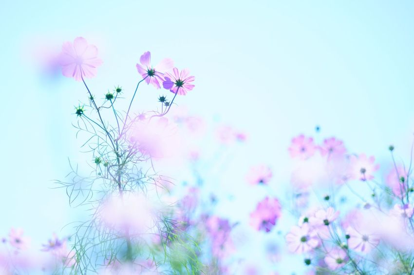 Capture The Moment Pastel Power Fragility Flower Fantasy Cosmos Beauty In Nature Autumn Pastel Colored Depth Of Field Plant Bokeh Photography Uzuki Of The Flower Multi Colored Nature Fine Art Photography Getting Inspired Tranquility Full Frame Detail Sony A7RII Oldlens Takumar EyeEm Best Shots 17_10 EyeEmNewHere